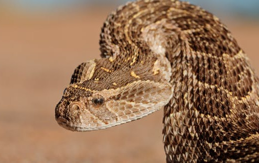 Snakebite envenoming: a neglected disease of poverty