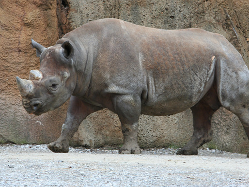 The prospects of legalising the international trade of rhino horn