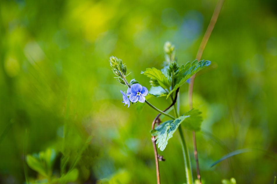 Germander speedwell. Germander Speedwell