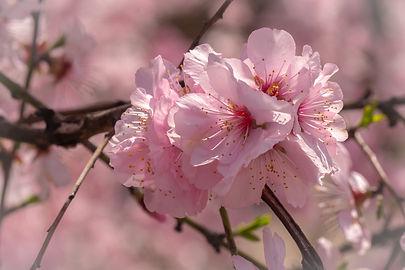 Closeup_Pink_color_Sakura_585844_4563x30