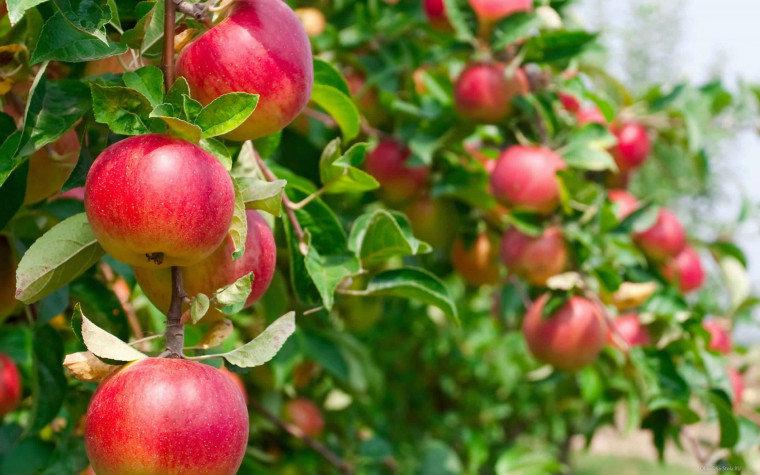 Спелые-яблоки-на-ветке.jpg