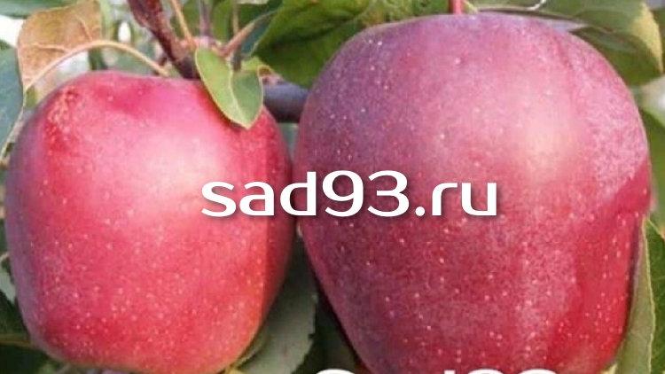 Сорт яблок «Моди»