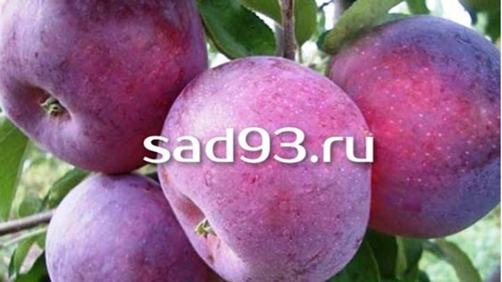 Яблоня «Вильямс Прайд»