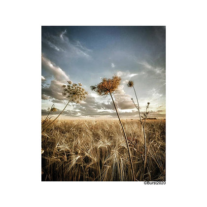 fields of gold - Picture Card/ Postcard - printed on uncoated natural paper