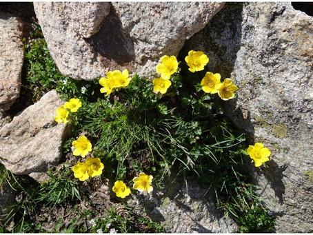Fleurs de montagne dans le Val d'Azun #2