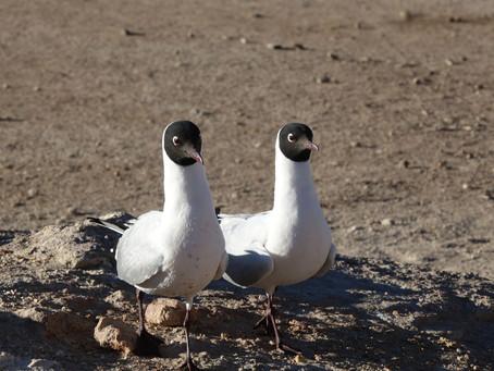 Atacama ~ Les oiseaux de l'Altiplano