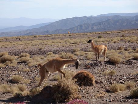 Atacama ~ Les Guanacos