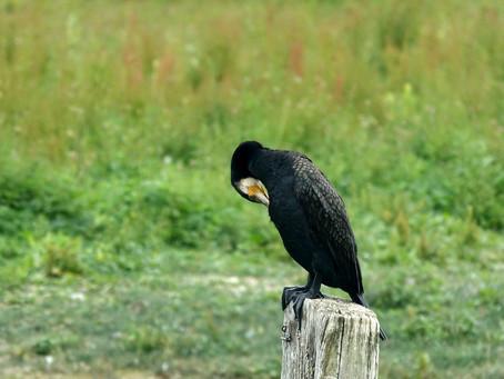 Dans le parc du Marquenterre #4 Des cormorans