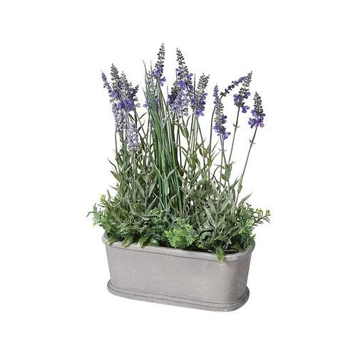 Lavender Plant in Pot