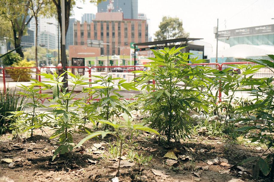 Planton-420 (8).jpg