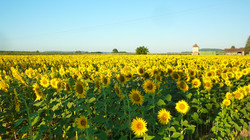 Sunflowers at Caday Rouge
