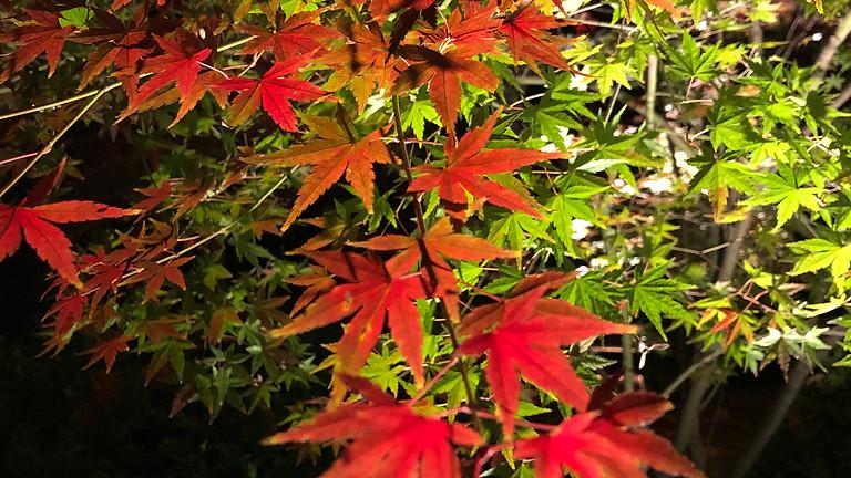 秋の紅葉ライトアップ しょうざん庭園 (定員あり)