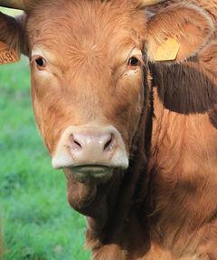Portraits de vaches de Julien Martin