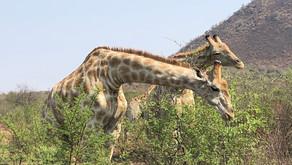 Safari em Joanesburgo