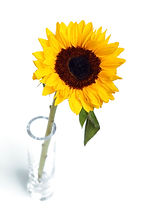 sunflower-in-vase-112829185350y1T.jpg