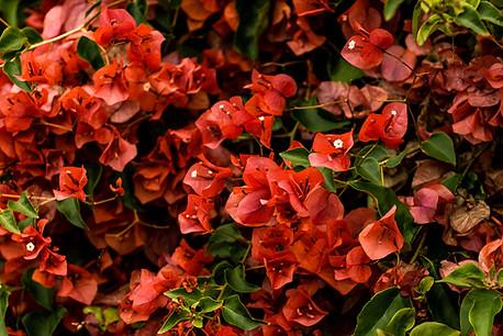 PV Roses