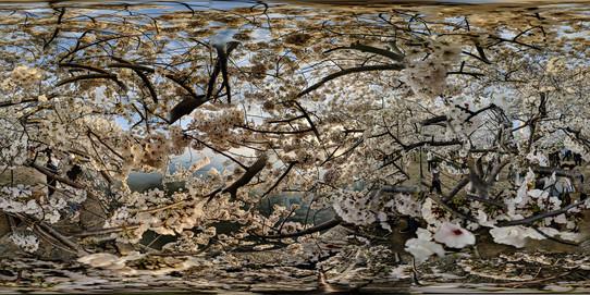 Cherry Blossoms No. 5, Tidal Basin, Wash