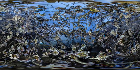 Cherry Blossoms, Tidal Basin, Washington