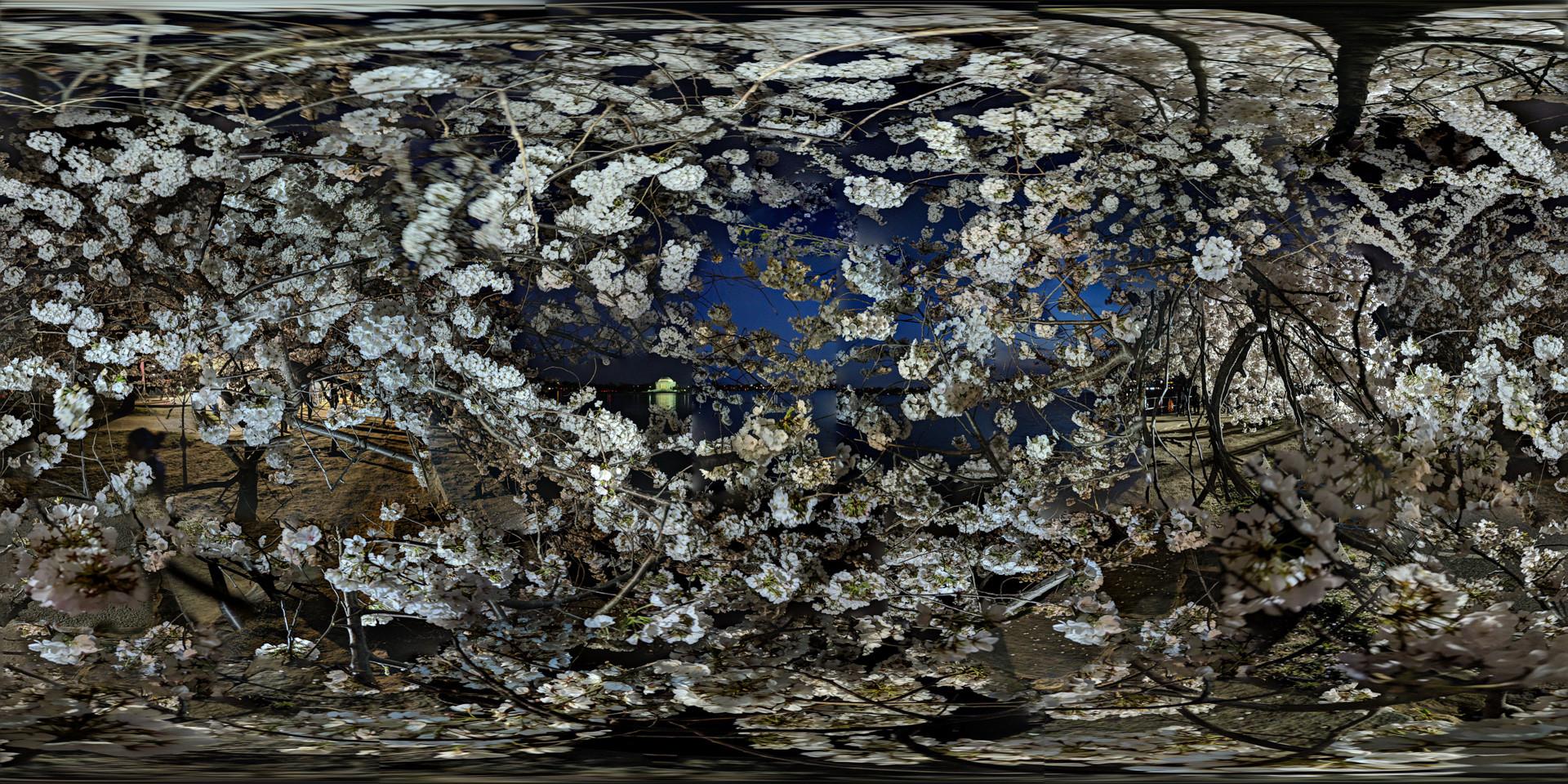 Cherry Blossoms No. 6, Tidal Basin, Wash