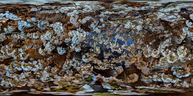 Cherry Blossoms No. 2, Tidal Basin, Wash