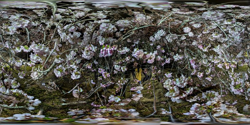 Cherry Blossoms No. 3, Tidal Basin, Wash