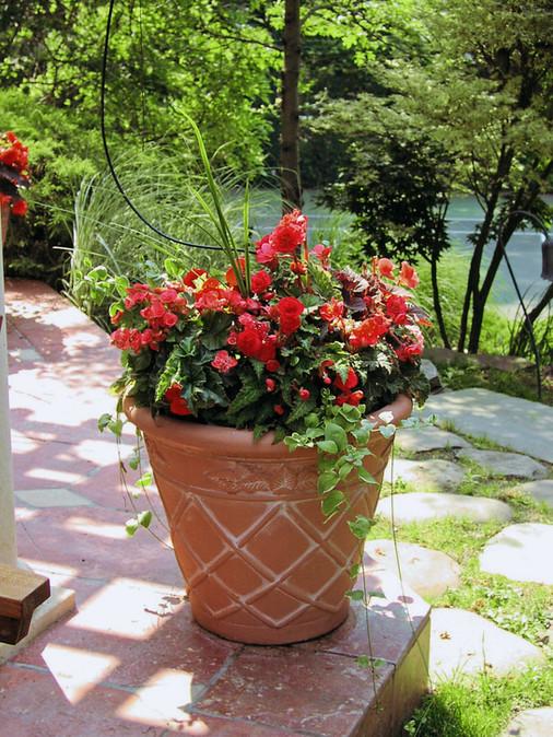Wax Begonias0003.jpg