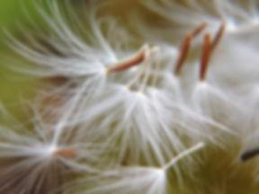 dandelion-1379847.jpg