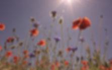 field-of-poppies-807871_edited.jpg