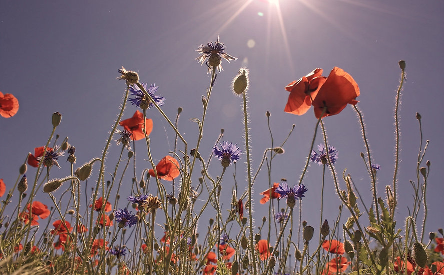 field-of-poppies-807871_edited.jpg