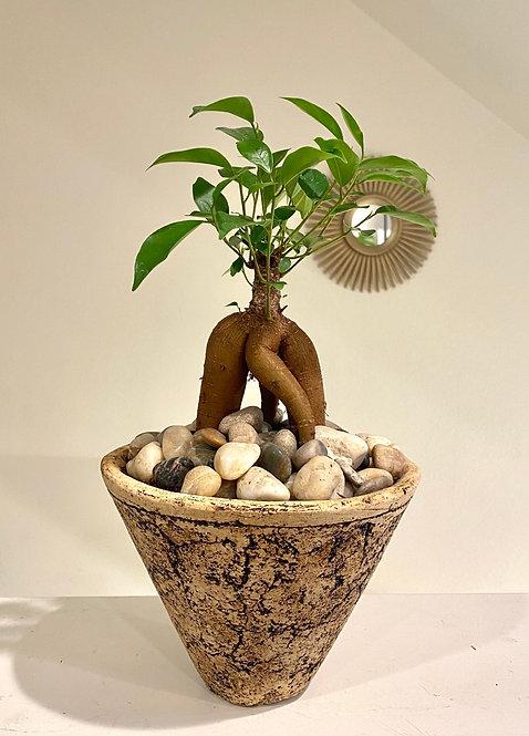 Ficus Bonsai in South African Pot