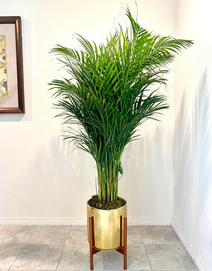 6ft Areca Palm w/ Planter and Stand