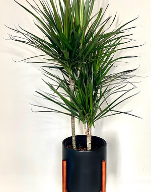 4 - 4 1/2 ft Madagascar Dragon Tree w/ Planter and Stand