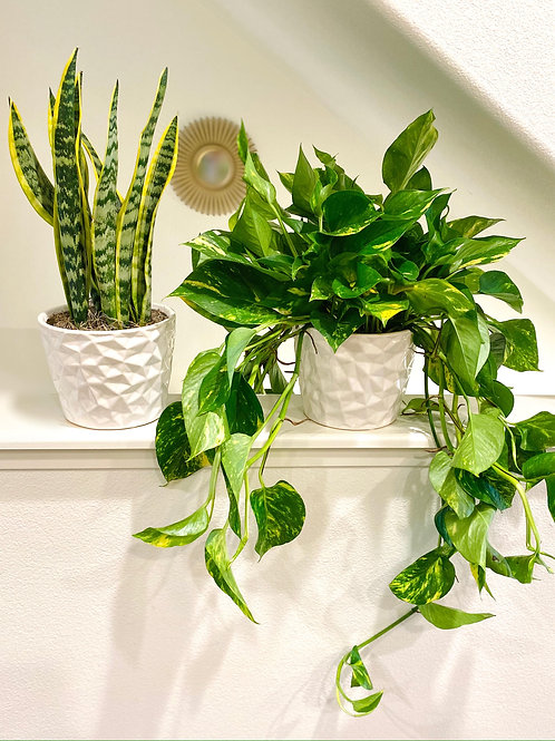 2 for $50.00 Snake Plant and Pothos (Cascading) Medium