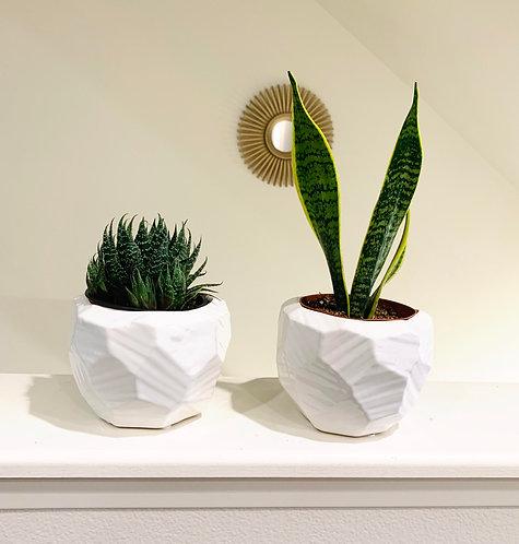 Lace Aloe Vera & Snake Plant