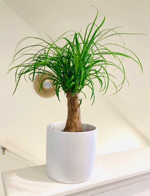Pony Tail Palm - Small