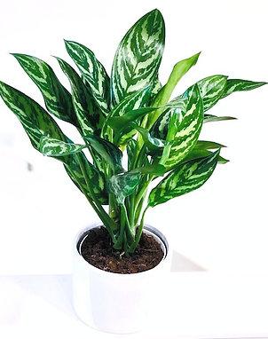 Tigress Chinese Evergreen