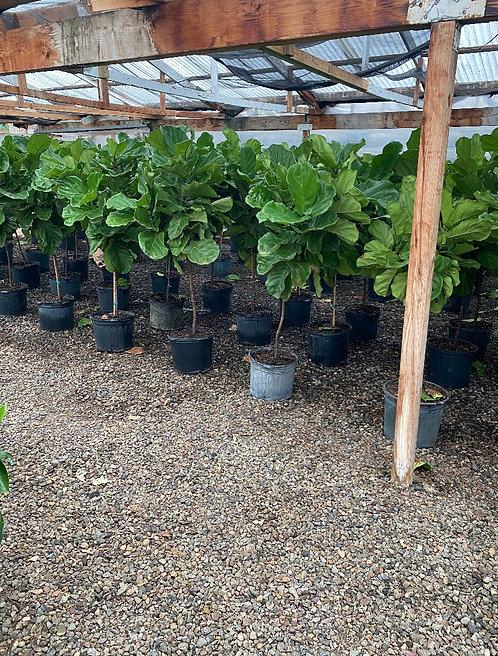 Fiddle Leaf Fig (Standard - 6ft)