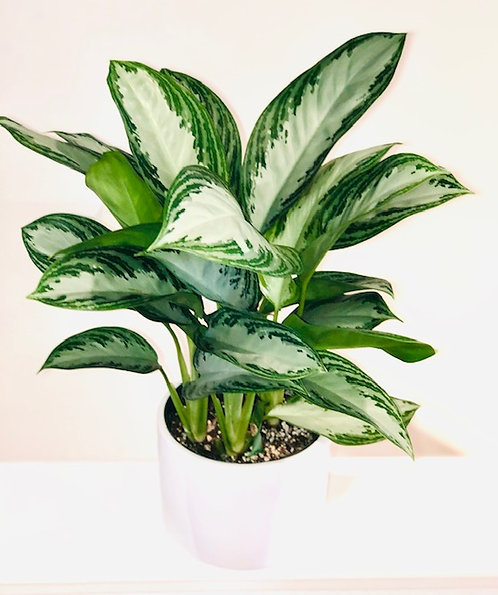 Silver Bay Chinese Evergreen
