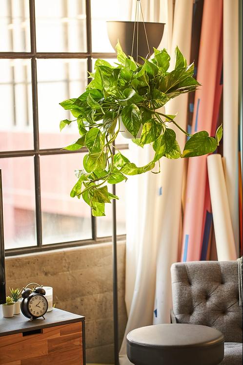 8 in. pot Pothos w/ Ceramic Hanging Planter