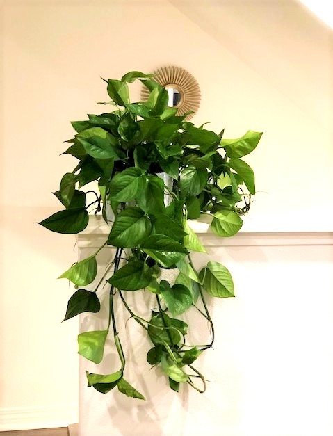 Pothos (Cascading) Medium