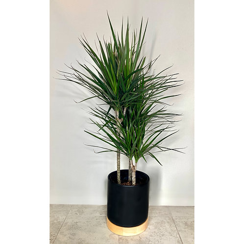 4 - 4 1/2 ft Madagascar Dragon Tree w/ Planter & Beige Attachment