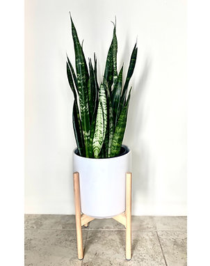 3ft Large Snake Plant w/ Planter & Stand