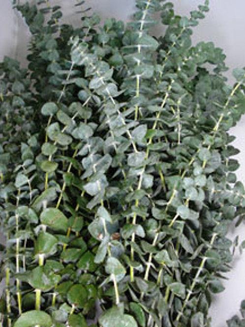 Eucalyptus (Bundle)