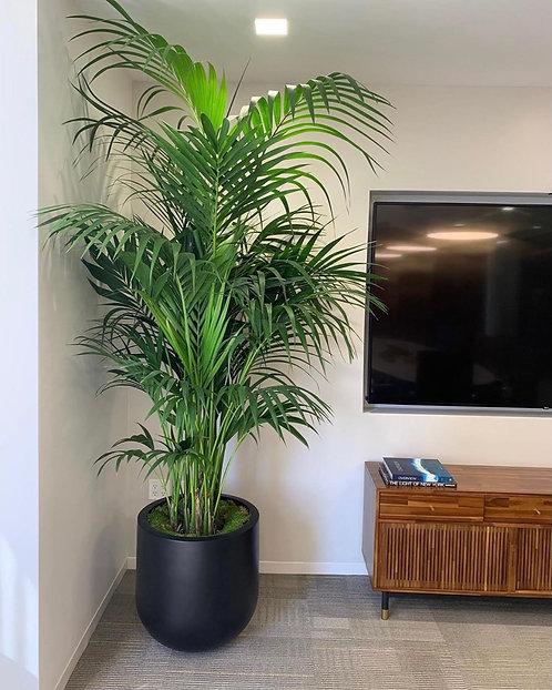 7ft Areca Palm