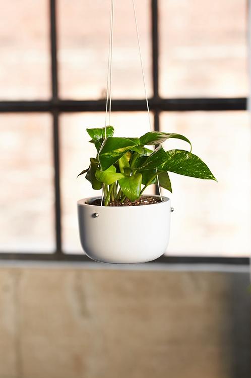 6 Inch Pothos w/ Ceramic Hanging Planter