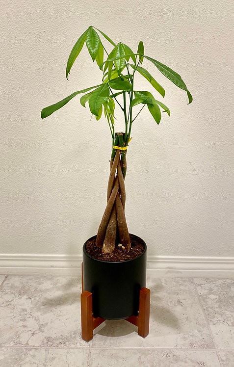 1 1/2  Money Tree Medium - Planter with Stand