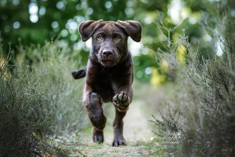 Labrador-Welpe Aaro