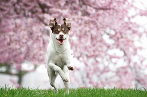 Chico im Kirschblütentraum