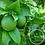 Thumbnail: Eucalyptus & Lime Body Oil w/s