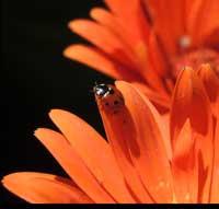 Gerber daisies - photo credit Natalie Mozer